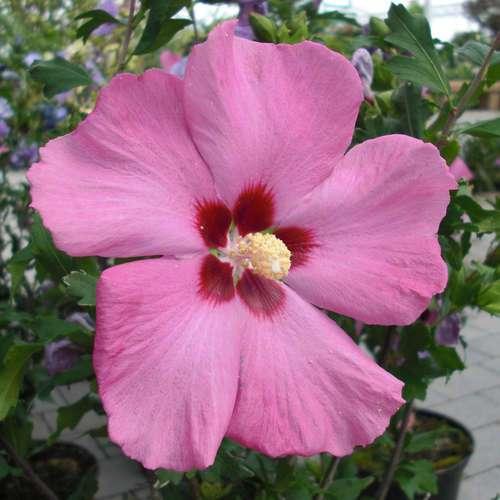 eibisch hibiscus syriacus 39 aphrodite 39. Black Bedroom Furniture Sets. Home Design Ideas