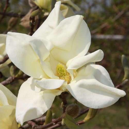 gelbe magnolie magnolia 39 sundance 39. Black Bedroom Furniture Sets. Home Design Ideas