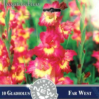 Gladiole - Gladiolus Hybr.Far West