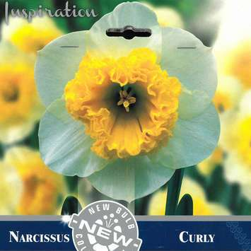 Narzisse - Narcissus Curly
