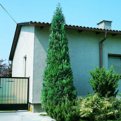 blaue s ulenzypresse chamaecyparis lawsoniana 39 columnaris 39. Black Bedroom Furniture Sets. Home Design Ideas