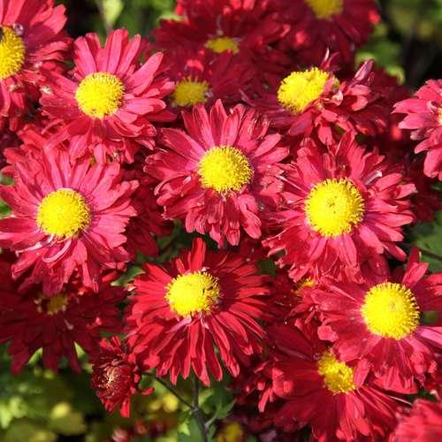 herbstchrysantheme chrysanthemum indicum 39 ceddie mason 39. Black Bedroom Furniture Sets. Home Design Ideas