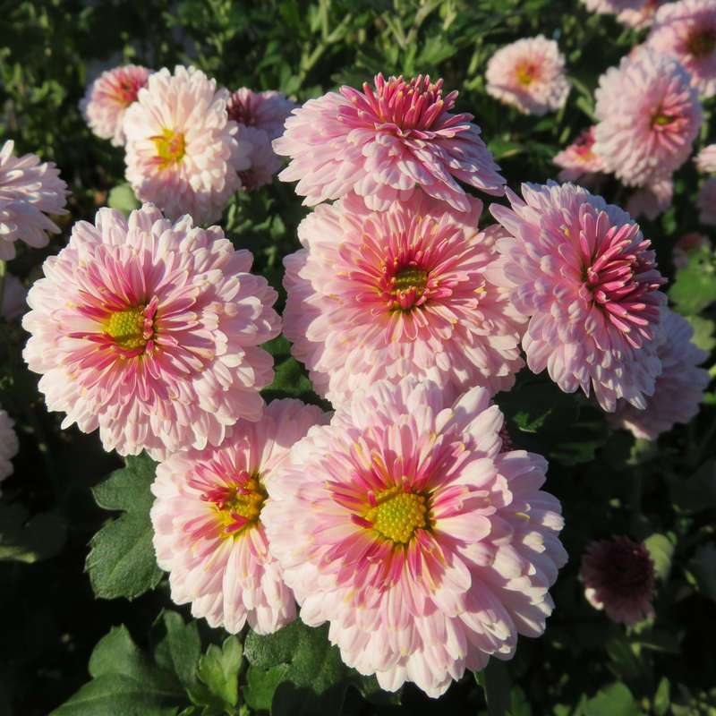 Herbstchrysantheme Chrysanthemum Indicum Julia