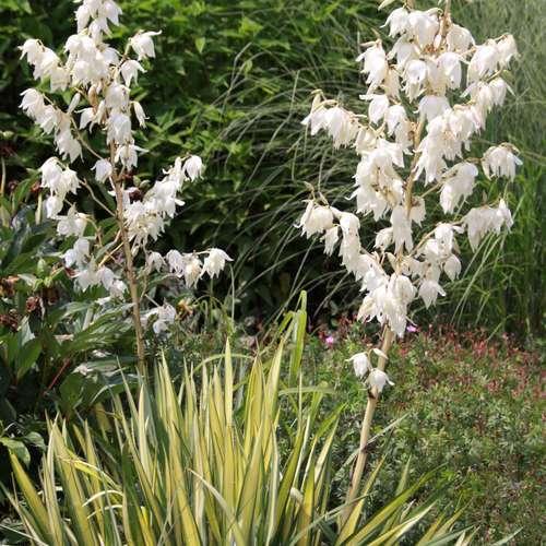 palmlilie yucca flaccida 39 golden sword 39. Black Bedroom Furniture Sets. Home Design Ideas