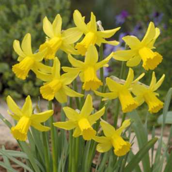 Narzisse - Narcissus February Gold