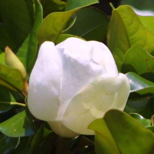 immergr ne magnolie magnolia grandiflora 39 francois treyve 39. Black Bedroom Furniture Sets. Home Design Ideas
