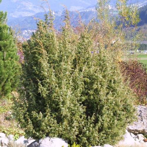 heimischer heidewacholder juniperus communis. Black Bedroom Furniture Sets. Home Design Ideas