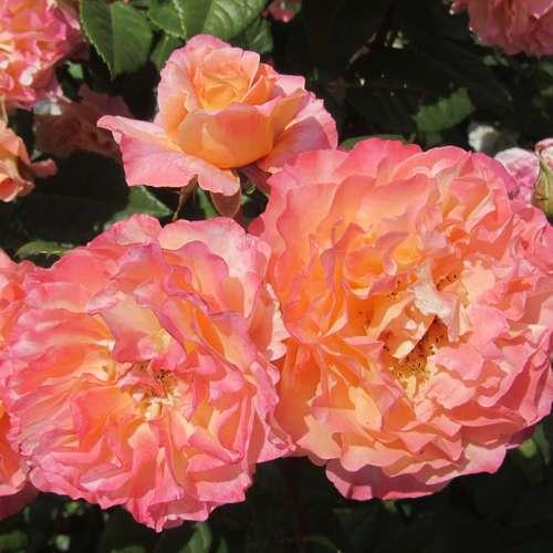 edelrose rose 39 augusta luise 39. Black Bedroom Furniture Sets. Home Design Ideas