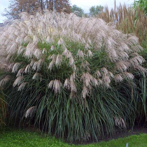 chinaschilf miscanthus sinensis 39 gro e font ne 39. Black Bedroom Furniture Sets. Home Design Ideas
