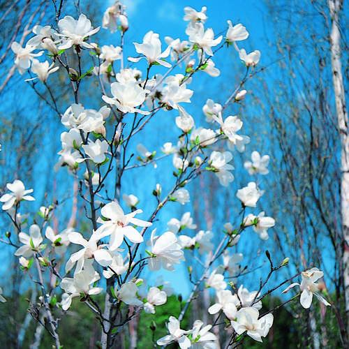 baummagnolie magnolia kobus. Black Bedroom Furniture Sets. Home Design Ideas