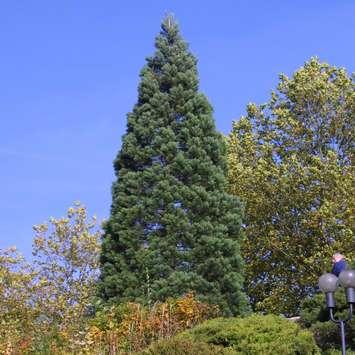 echter mammutbaum sequoiadendron giganteum. Black Bedroom Furniture Sets. Home Design Ideas