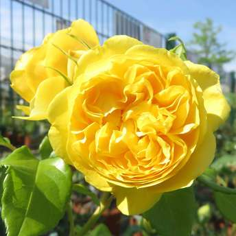 Englische Strauchrose - Rose 'Happy Child'