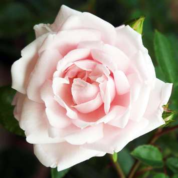 Moderne Kletterrose - Rose 'New Dawn'