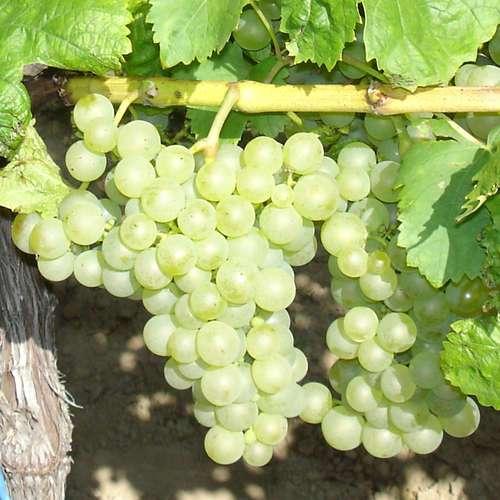 weinrebe vitis vinifera 39 gutedel wei 39. Black Bedroom Furniture Sets. Home Design Ideas