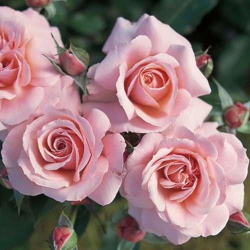 beetrose bodendeckerrose rose 39 bonica 82 39. Black Bedroom Furniture Sets. Home Design Ideas
