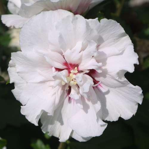 eibisch hibiscus syriacus 39 speciosus 39. Black Bedroom Furniture Sets. Home Design Ideas