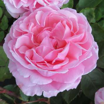 Englische Strauchrose - Rose 'Brother Cadfeal'