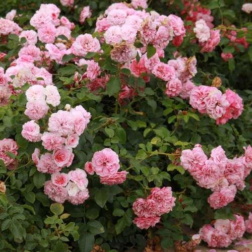 bodendeckerrose rose 39 pink meilove 39. Black Bedroom Furniture Sets. Home Design Ideas
