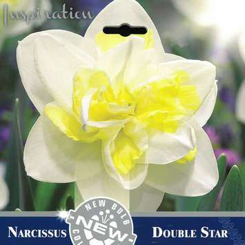 Narzisse - Narcissus Double Star