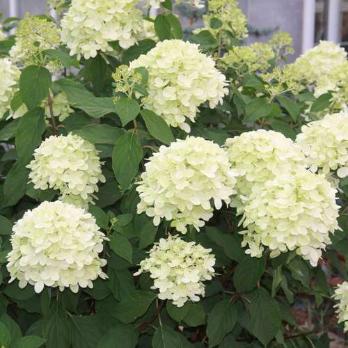 rispenhortensie hydrangea paniculata 39 limelight 39. Black Bedroom Furniture Sets. Home Design Ideas