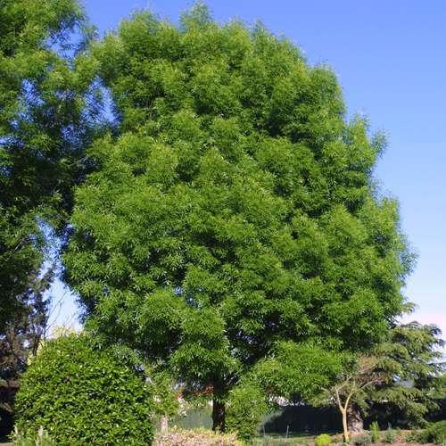 schmalbl ttrige esche fraxinus angustifolia 39 raywood 39. Black Bedroom Furniture Sets. Home Design Ideas