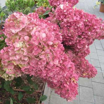 rispenhortensie hydrangea paniculata 39 pinky winky 39. Black Bedroom Furniture Sets. Home Design Ideas