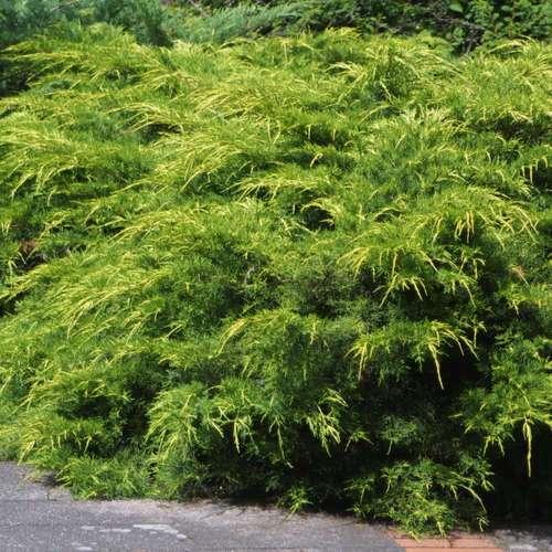 goldspitzen wacholder juniperus pfitzeriana 39 pfitzeriana. Black Bedroom Furniture Sets. Home Design Ideas