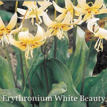 Hundszahnlilie - Erythronium White Beauty