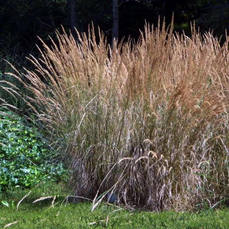 reitgras calamagrostis acutiflora 39 karl foerster 39. Black Bedroom Furniture Sets. Home Design Ideas