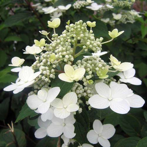 rispenhortensie hydrangea paniculata 39 wim 39 s red 39. Black Bedroom Furniture Sets. Home Design Ideas