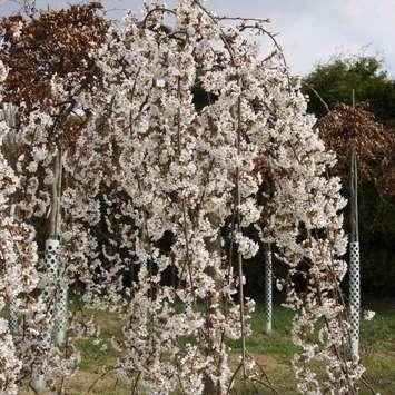 japanische h ngekirsche prunus yedoensis 39 shidare yoshino 39. Black Bedroom Furniture Sets. Home Design Ideas