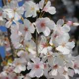 Brautkirsche - Prunus incisa 'The Bride'
