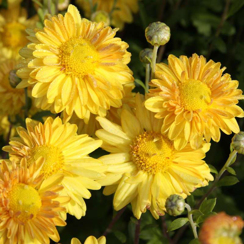 Herbstchrysantheme Chrysanthemum Indicum Goldmarianne