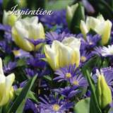 - Lovely Combination Tulpen,Anemonen