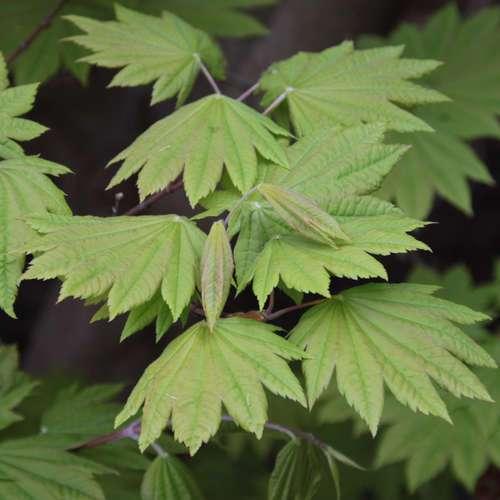 weinbl ttriger japanahorn acer japonicum 39 vitifolium 39. Black Bedroom Furniture Sets. Home Design Ideas