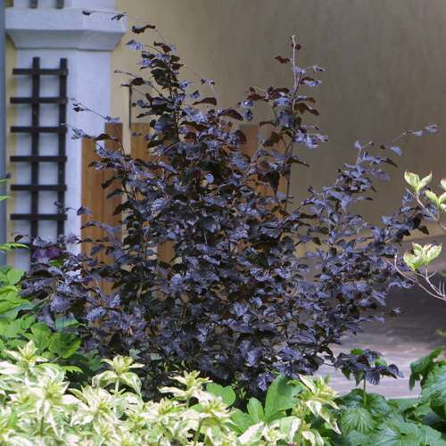 zwerg blutbuche fagus sylvatica 39 purpurea nana 39. Black Bedroom Furniture Sets. Home Design Ideas