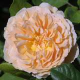 Englische Strauch-, Kletterrose - Rose 'Crown Princess Margareta'