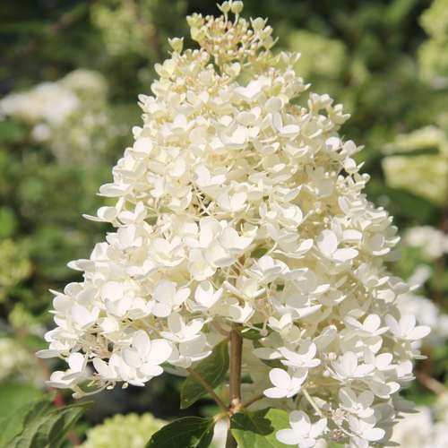 rispenhortensie hydrangea paniculata 39 grandiflora 39. Black Bedroom Furniture Sets. Home Design Ideas