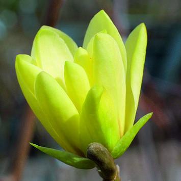 gelbe sternmagnolie magnolia 39 goldstar 39. Black Bedroom Furniture Sets. Home Design Ideas