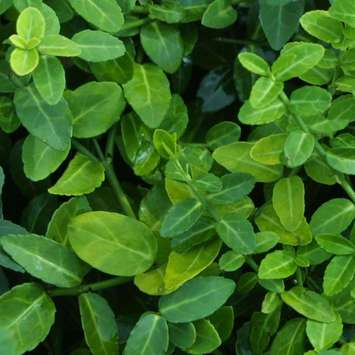 Kriech-Spindelstrauch - Euonymus fortunei 'Green Carpet'