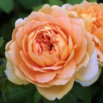 Englische Strauchrose - Rose 'Golden Celebration'