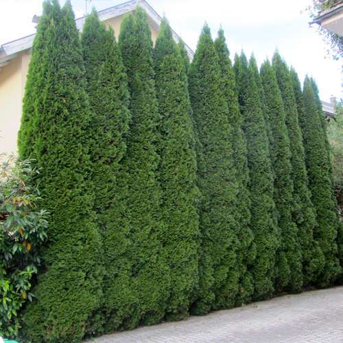 Smaragd s ulenthuje thuja occidentalis 39 smaragd 39 for Pflanzen evergreen