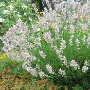 wei er lavendel lavandula angustifolia 39 melissa 39. Black Bedroom Furniture Sets. Home Design Ideas