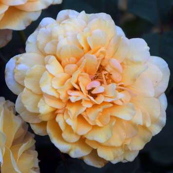 Historische Strauchrose - Rose 'Buff Beauty'