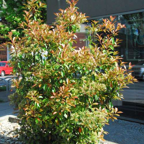 glanzmispel photinia fraseri 39 red robin 39