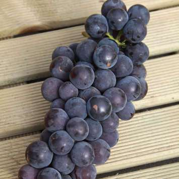 Weinrebe - Vitis vinifera 'Early Campbell'