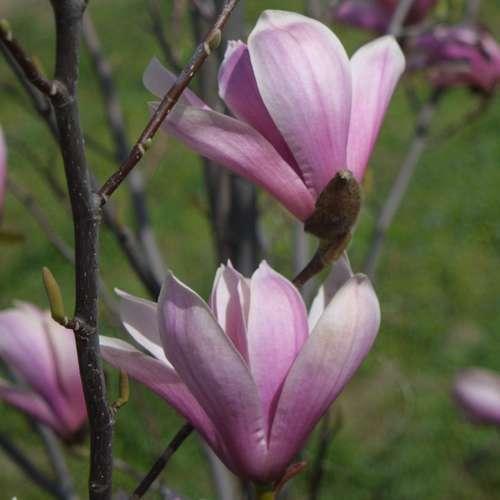 rosa lilien sternmagnolie magnolia 39 galaxy 39. Black Bedroom Furniture Sets. Home Design Ideas