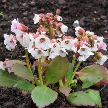 Riesensteinbrech - Bergenia 'Angel Kiss'