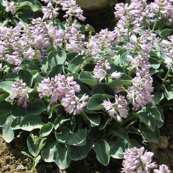 Funkie, Herzlilie - Hosta 'Blue Mouse Ears'