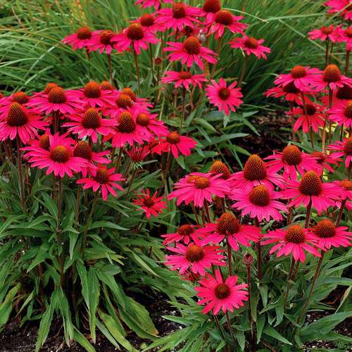 sonnenhut echinacea purpurea 39 glowing dream 39. Black Bedroom Furniture Sets. Home Design Ideas